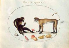Joris Hoefnagel, Twee apen, een meiknol, pruim en aubergine, ca. 1575-1585. RKD Explore: https://rkd.nl/explore/images/120623