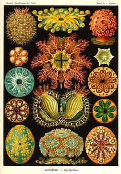 """Ascidian from """"Kunstformen der Natur"""" (Art Forms of Nature) by Ernst Haeckel"""