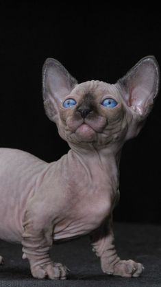 640x1136 Wallpaper bambino, cat, kitten, pear Gatos Devon Rex, Devon Rex Cats, Manecoon Cat, Kitty Cats, Bambino Kitten, Pedigree Cats, Gatos Cool, Soft Kitty Warm Kitty, Sphinx Cat