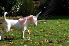 Lustige Halloween Kostüme für Hunde oder Katzen: Unicorns are real.
