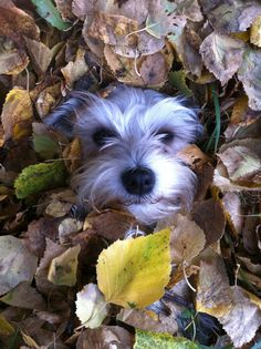 This is my miniature Schnauzer, Sprite. Great fall picture idea taken with my iPhone!