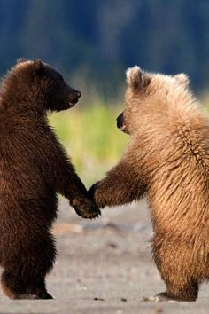 25 Animals that are BFFs - Animals love their friends as much as any human! These range from the unusual to the strange to the just plain cute. Cute Wild Animals, Cute Funny Animals, Animals And Pets, Grizzly Bear Cub, Bear Cubs, Beautiful Creatures, Animals Beautiful, Photo Animaliere, Cute Bears
