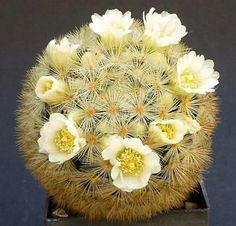 Mammilliaria carmenae