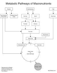 ผลการค้นหารูปภาพสำหรับ cellular respiration diagram with carbohydrates, lipids, and amino acids