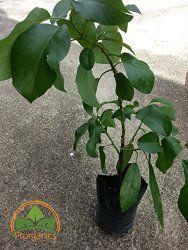 Avocado tree - How to grow & care Avocado Tree, Season Colors, Lawn And Garden, Growing Avocado, Gardening, Organic, 12 Months, Plants, Amazon