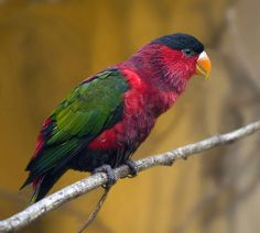 The Purple-naped Lory, Lorius domicella is a monotypic species of parrot in the Psittacidae family. It is forest-dwelling endemic to the islands of Seram, Ambon, and perhaps also Haruku and Saparua, South Maluku, Indonesia.   Photo: Peter van Zoest
