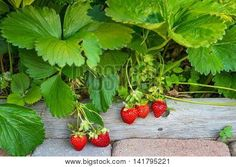 Image of Several Juicy Organic Strawberries Ripening on the Vine
