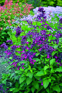 warm tones pollinator garden Buy salvia Salvia Love and Wishes (PBR): Delivery b Purple Flowers, Salvia, Hummingbird Garden, Plants, Ornamental Grasses, Beautiful Flowers, Salvia Plants, Perennials, Flowers