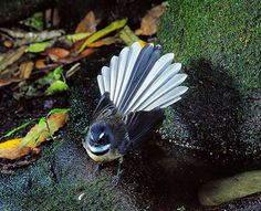 Known for its friendly 'cheet cheet' call and energetic flying antics, the aptly named fantail is one of the most common and widely distributed native birds on the New Zealand mainland. Flower Tattoo Foot, Foot Tattoos, Flower Tattoos, Sleeve Tattoos, Key Tattoos, Butterfly Tattoos, Skull Tattoos, Cat Tattoo, Fairy Tattoo Designs