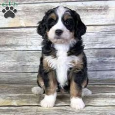 Mini Bernedoodle Puppies For Sale In 2020 Mini Bernedoodle Bernedoodle Puppy Bernedoodle
