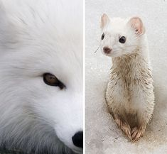 Animals That Live in the Arctic | Arctic Animals that Turn White for Winter