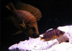 Altolamprologus compressiceps orange fin