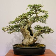 Bonsai 373