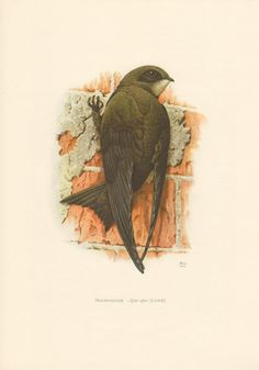 1956 Common Swift Antique Print Vintage Lithograph by Craftissimo, €12.95