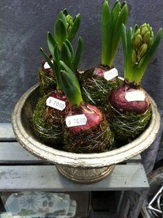 Svibler i mose Succulents, Plants, Christmas, Xmas, Succulent Plants, Navidad, Plant, Noel, Natal