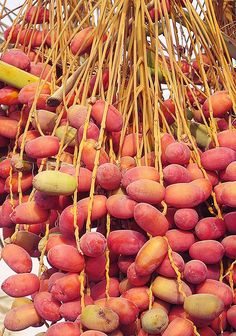 Fresh dates, Oman