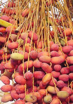 Fresh dates, Oman