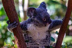 Koala Obsessed || Currumbin Wildlife Sanctuary