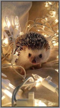 soo cute !! CHRISTMAS HEDGEHOG #photo by tomtom1486 at instagram #igel