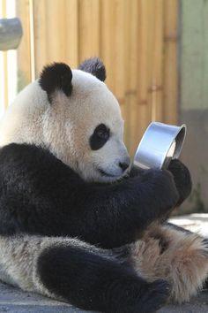 """Am I getting old?"" #panda"