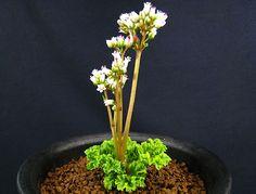 画像1: Crassula alcicornis