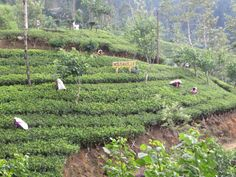 Tea Country Cool Places To Visit, Sri Lanka, Exploring, The Good Place, Vineyard, Tea, Country, Plants, Outdoor