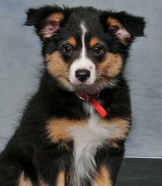 Australian Shepherd and Corgi mix. i guess im going to have a lota doggies one day