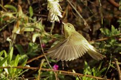 Willow Warbler (Phylloscopus Trochlius) – Photograph by Marco Jona