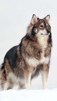 Utonagan dog ~ A German Shepard, Alaskan Malamute, Siberian Husky mix.