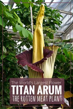 The World's Largest Flower, the Titan Arum, at the Botanic Garden Meise, in Flanders, Belgium