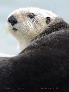 Sea Otter on shore in Elkhorn Slough, Moss Landing, CA.