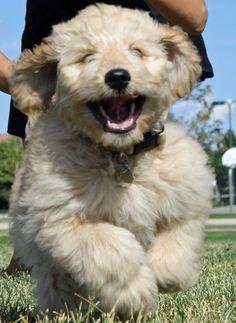 Goldens are always happy, happy, happy