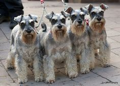 Omg these Miniature Schnauzers all look alike!! So So Adorable!! it would be hard to tell them apart until you got to know them❤️