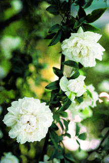 This could be a good option for Aunt Pat's white rose. [Fortuniana - Rose 111 - The Antique Rose Emporium] $18.95