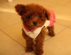 brown teacup poodle puppies | Zoe Fans Blog