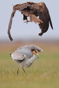 Marsh Harrier () fighting with heron for food. Usually, Heron is a clear winner against Marsh Harrier. but this time, he found it stronger than him. Love Birds, Beautiful Birds, Eagles, Earth Song, Mundo Animal, Birds Of Prey, Bird Watching, Bird Feathers, Beautiful Creatures