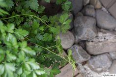 Rivitalopiha - Sisustuskuva jäseneltä jaana_k - StyleRoom. Herbs, Herb, Medicinal Plants
