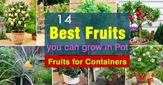 Guava tree care and growing is easy. With the information given in this article you can understand how to grow guava tree in a pot. It will delight you with its sweetly scented flowers, delicious fruits and beautiful tropical appearance. How To Grow Dragon Fruit, How To Grow Watermelon, Grow Banana Tree, Culture Tomate, Growing Vegetables In Containers, Garden Web, Herbs Garden, Fruit Garden, Tomato Farming