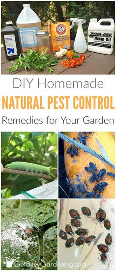 Garden Pest Control Remedies And Recipes Don't use chemical pesticides to control bugs in your garden; they do more harm than good! Use these natural pest control remedies, and work WITH nature!Don't use chemical pesticides to control bugs in your garden; Slugs In Garden, Garden Bugs, Garden Insects, Garden Pests, Garden Bug Spray, Organic Vegetables, Growing Vegetables, Planting Vegetables, Veggies