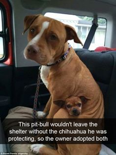One pit-bull refused to let go of his #chihuahua friend - so the owner adopted them both...