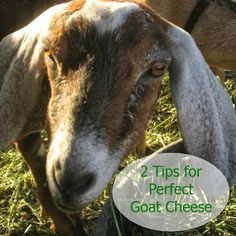 2 Tips for Perfect Goat Cheese