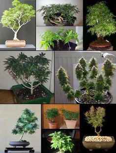 Bonsai! Marijuana Zen Gardens...