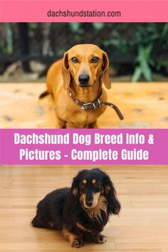 Dachshund Dog Breed Info - Detailed Guide.  Dachshund behavior and personality explained. It was because of the pesky badgers that the dachshund breed was born.  Hunters needed small dogs with a long body and short legs to hunt the badgers.  #dachshunds  #doxie