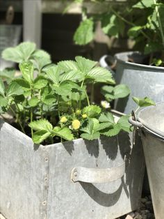 Strawberry's in old zinc box Spring Garden, Box, Plants, Summer, Vintage, Porches, Snare Drum, Summer Time, Plant