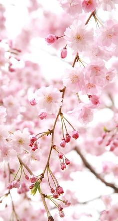 Sakura tree Pink Flowers, Dandelion, Plants, Garden, Food, Wallpaper S, Eten, Gardens, Hoods