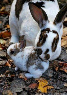Rabbit mama with bunny baby, brown and white. Funny Bunnies, Baby Bunnies, Cute Bunny, Bunny Rabbits, Adorable Bunnies, Big Bunny, Hunny Bunny, Animals And Pets, Baby Animals