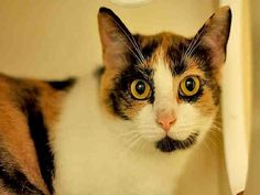 ADOPT PEANUT!!BREED: DOMESTIC SHORTHAIRCOLOR: CALICOAPPROXIMATE AGE: 1 YEAR, 2 MONTHSGENDER: SPAYED FEMALEWILL I FIT IN YOUR HOME?GOOD WITH KIDS: UNKNOWNGOOD WITH DOGS: UNKNOWNGOOD WITH CATS: UNKNOWNLITTERBOX TRAINED: YesDECLAWED: NOMY PERSONAL...
