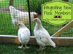 It IS possible to introduce new chickens to a different group of birds without drama or bloodshed. Integrating new chickens into an existing flock does not have to be stressful for the chicken keeper or the chickens. HERE's HOW!