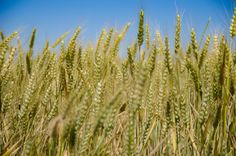 """Mutated wheat discovered on Oregon farm"" - Illegal genetically engineered wheat – ""Roundup resistant"" – was found growing recently in an Eastern Oregon farm field. #GMO #Oregon #USDA #PEMCOblog #NewsandInsight"
