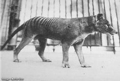 Male at Berlin zoo around 1905